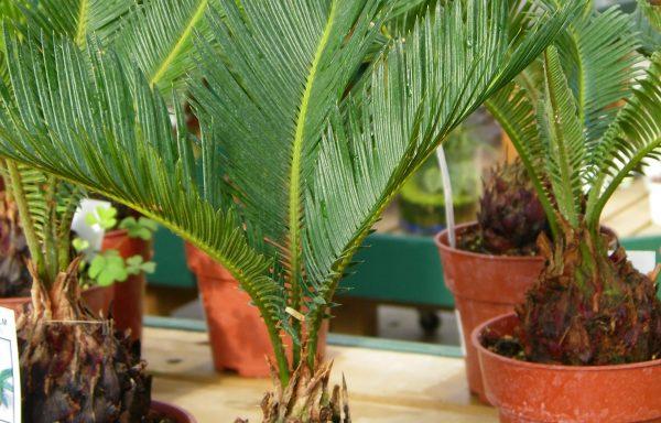 Palm 'Sago'