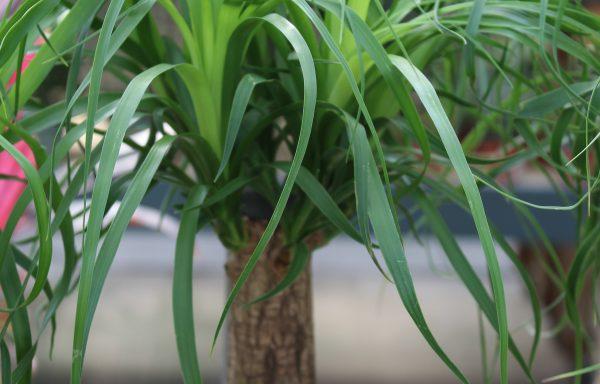 Palm 'Ponytail'