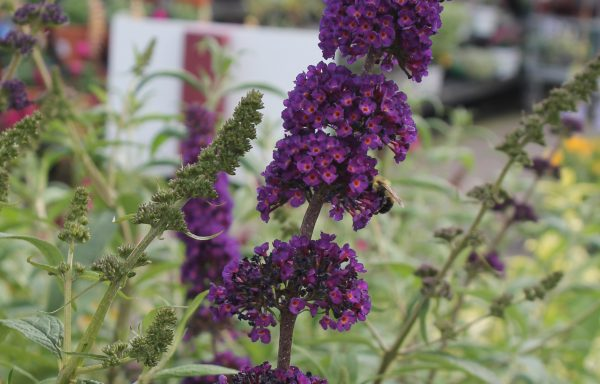 Butterfly Bush 'Black Knight'