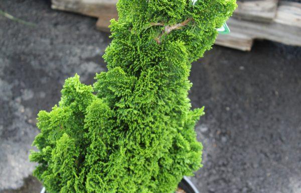 Cypress, Hinoki 'Spiralis'