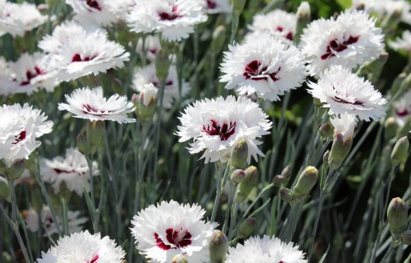 Dianthus, Star™ 'Silver Star'