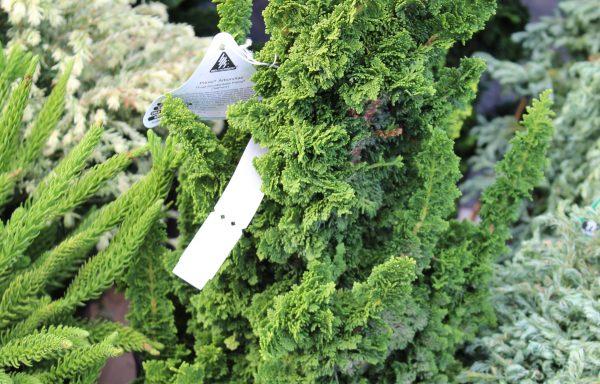 Arborvitae 'Primo'