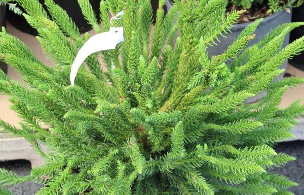 Cedar, Japanese 'Dinger'
