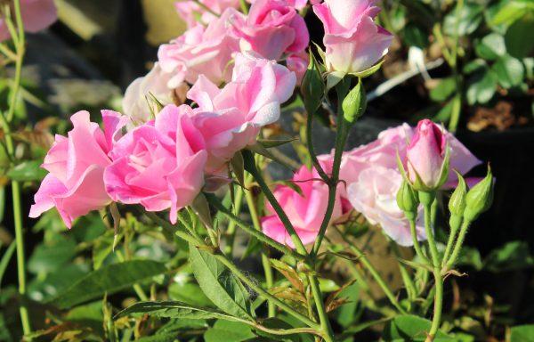 Rose, Iceberg 'Brilliant Pink'