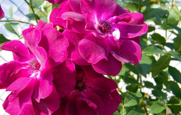 Rose, Iceberg 'Burgundy'