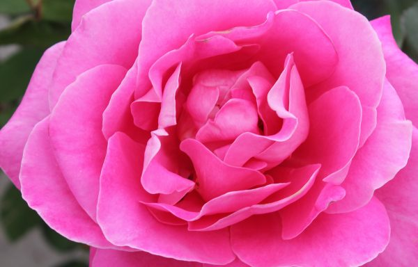 Rose 'Pink Peace'
