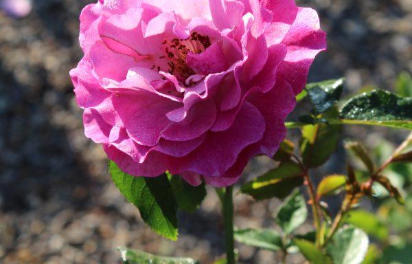 Rose 'Wild Blue Yonder'™ – (New For 2020)