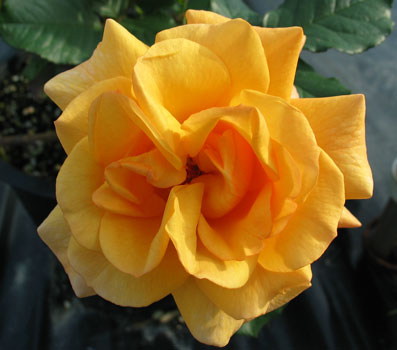 Rose 'Autumn Sunset'