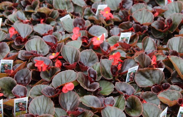 Begonia, Cocktail 'Vodka' – (New For 2020)