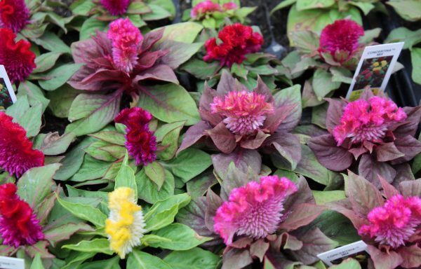 Celosia 'Concertina Mixture' – (New For 2020)