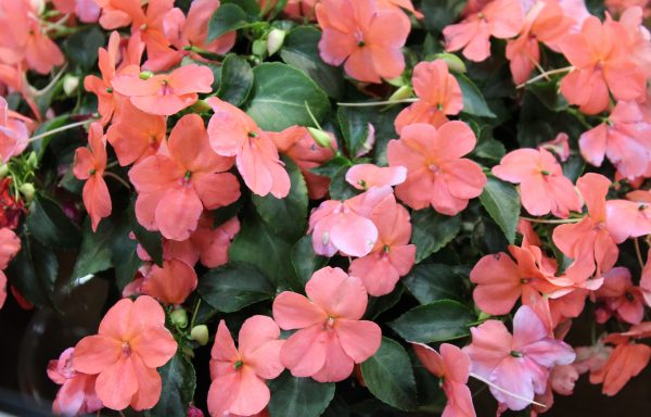 Impatiens, Beacon 'Coral' – (New For 2020)
