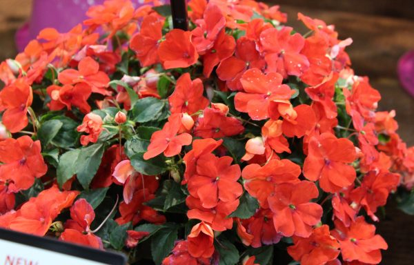 Impatiens, Beacon 'Bright Red' – (New For 2020)
