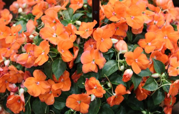 Impatiens, Beacon 'Orange' – (New For 2020)