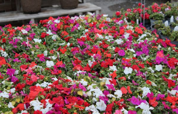 Impatiens, Beacon 'Select Mix' – (New For 2020)