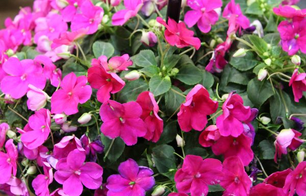 Impatiens, Beacon 'Violet Shades' – (New For 2020)