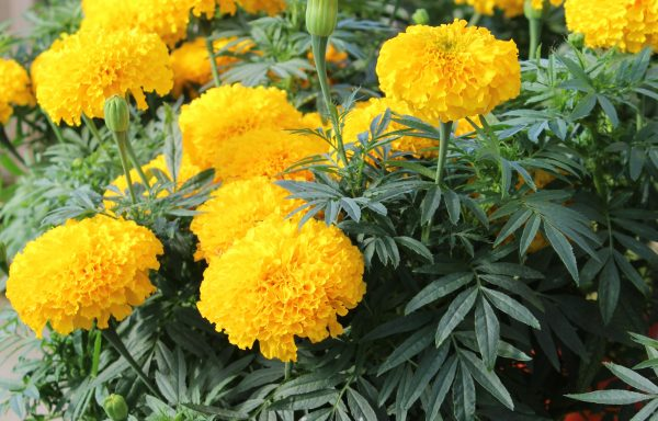 Marigold, Big Duck 'Gold' – (New For 2020) (AAS Winner)