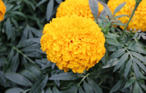 Marigold, Big Duck 'Orange' – (AAS Winner)