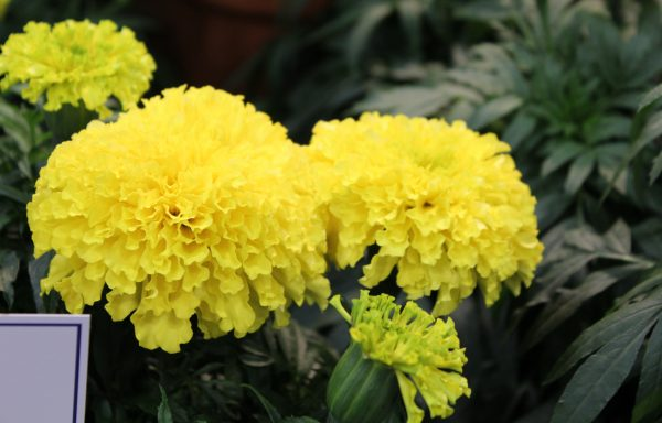 Marigold, Big Duck 'Yellow' – (New For 2020) (AAS Winner)