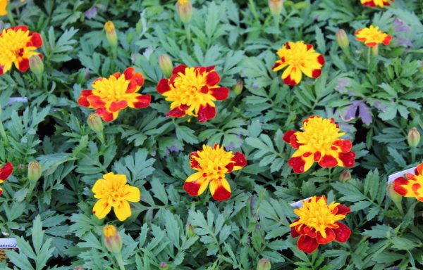 Marigold, French 'Flamenco' – (New For 2020)