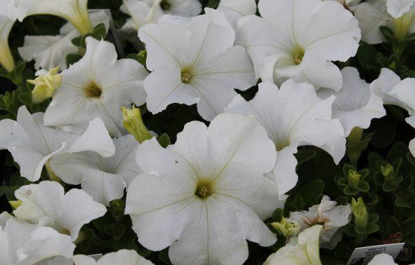 Petunia, Pretty 'Grand White'