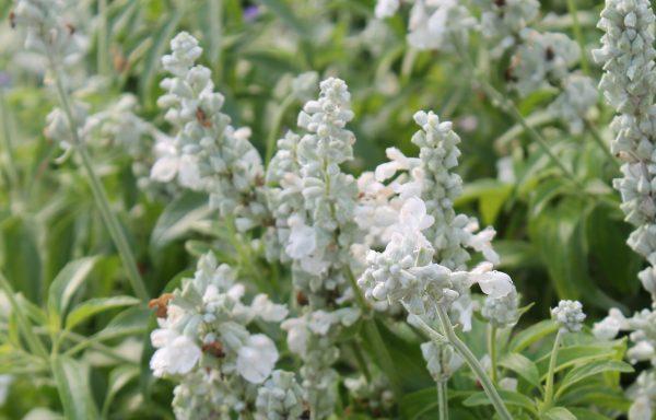 Salvia 'Victoria White'