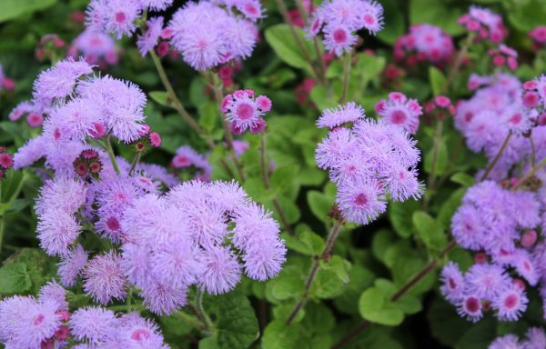 Ageratum, Aguilera 'Violet' – (New For 2020)