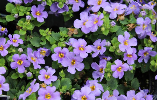 Bacopa, Megacopa 'Blue' – (New For 2020)