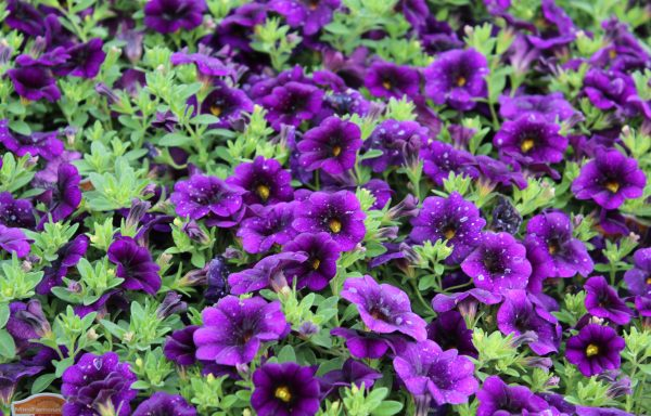 Calibrachoa, MiniFamous 'Neo Dark Blue' – (New For 2020)