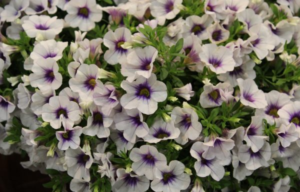 Calibrachoa, MiniFamous 'Neo Violet Ice' – (New For 2020)