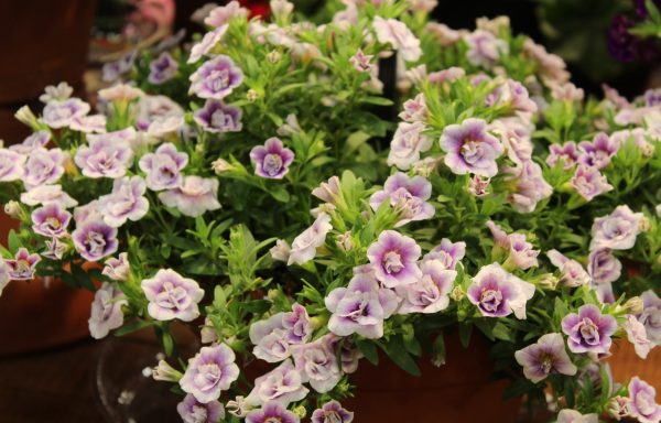 Calibrachoa, MiniFamous 'Uno Double PlumTastic' – (New For 2020)