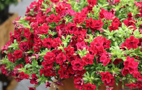 Calibrachoa, MiniFamous 'Uno Double Red' – (New For 2020)