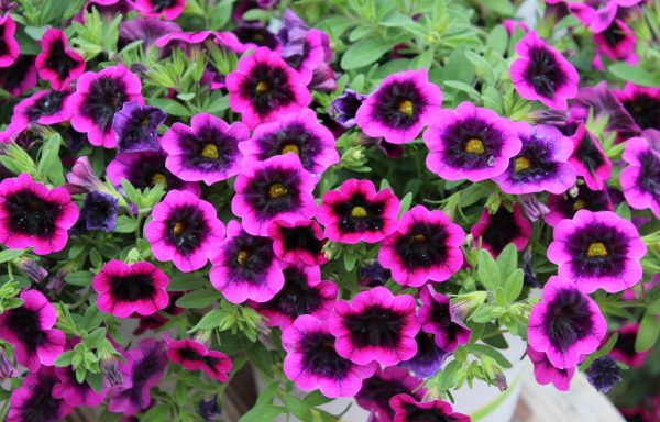 Calibrachoa, Superbells 'Blackcurrant Punch' – (New For 2020)