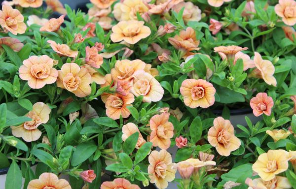 Calibrachoa, Superbells 'Double Amber' – (New For 2020)