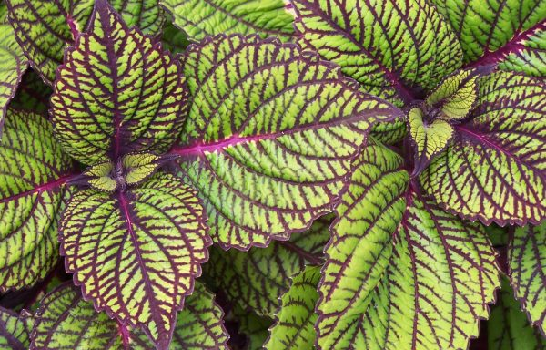 Coleus 'Fishnet Stockings'