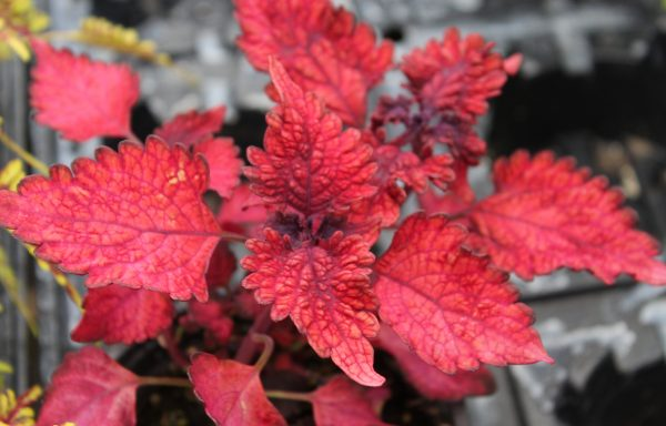 Coleus, Under The Sea 'Red Snapper'