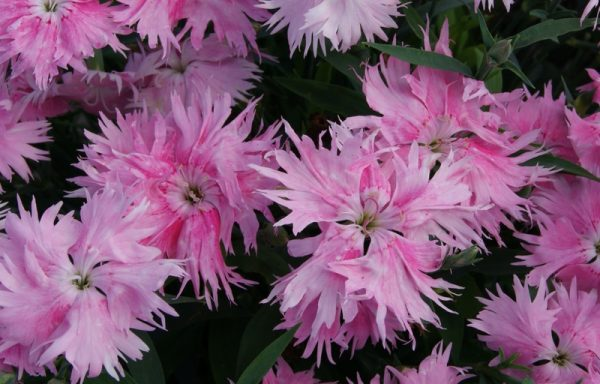 Dianthus 'Supra Pink' – (AAS Winner) (New For 2020)