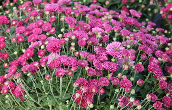 Garden Mum 'Adiva Purple'