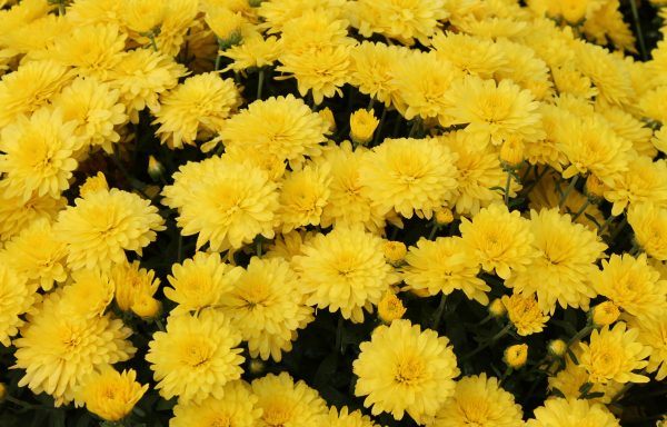 Garden Mum 'Allegra Yellow'