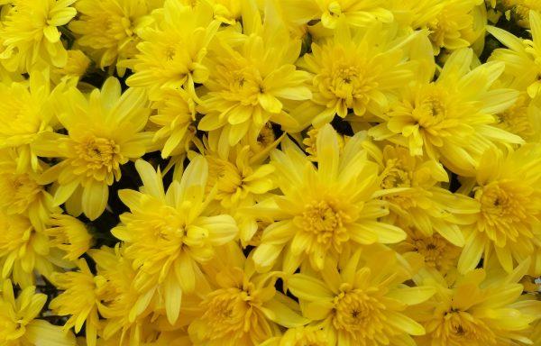 Garden Mum 'Arluno Yellow'