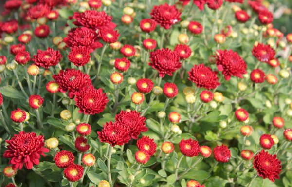 Garden Mum 'Ashley Red'