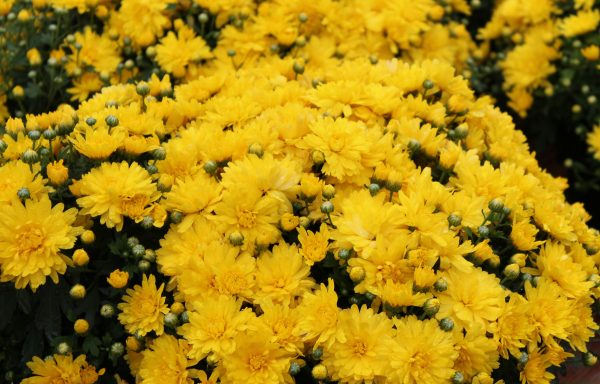 Garden Mum 'Brittany Yellow'
