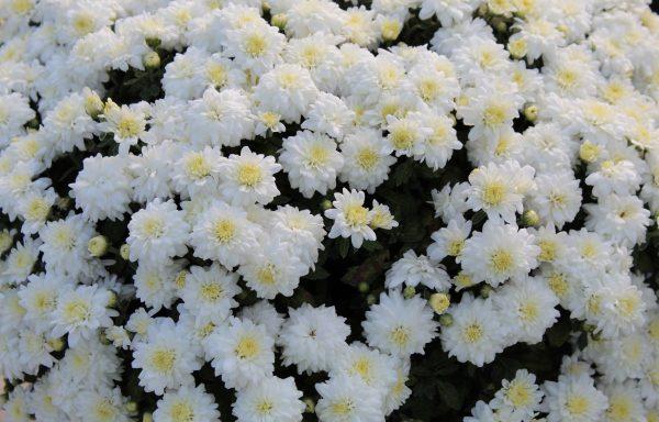 Garden Mum 'Celestial White'