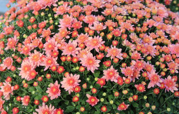 Garden Mum 'Chelsey Coral'