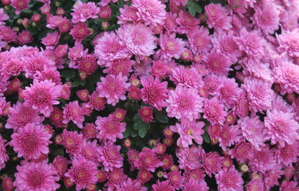 Garden Mum 'Chelsey Pink'
