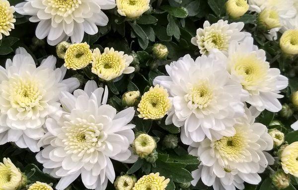 Garden Mum 'Chelsey White'