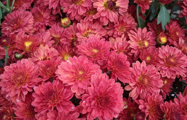 Garden Mum 'Cynthia Scarlet'