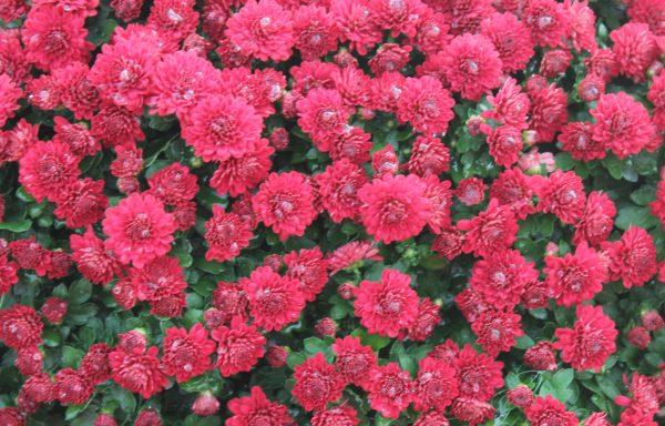 Garden Mum 'Danielle Red'