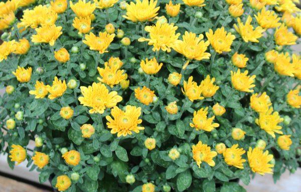 Garden Mum 'Electra Amber'
