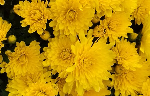 Garden Mum 'Elena Gold'