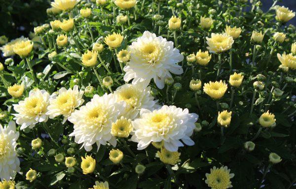 Garden Mum 'Fonti White'